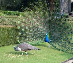 How do you get girls to like you? With peacocks!